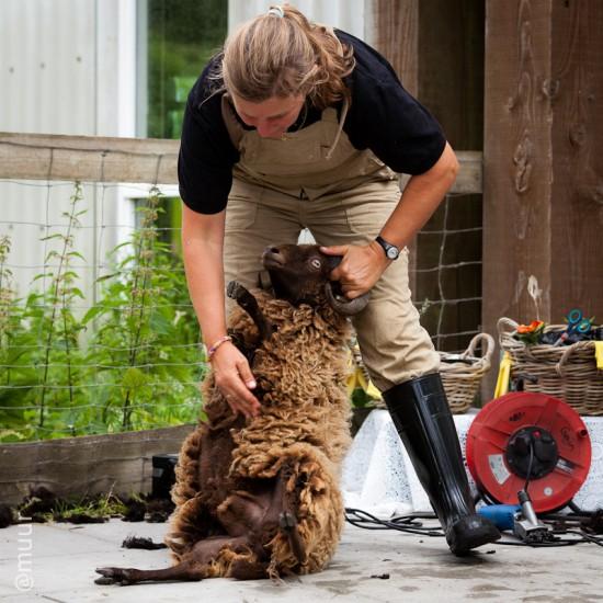 schapenscheren02