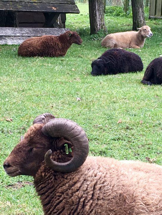 ram-en-schapen