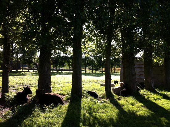 schapen-onder-bomen